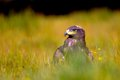 Steppe eagle sitting in the field on yellow green grass Royalty Free Stock Images