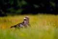 Steppe eagle sitting in the field on yellow green grass Royalty Free Stock Image