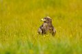 Steppe eagle sitting in the field on yellow green grass Stock Photography