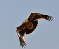 Steppe eagle on a sky background Royalty Free Stock Photos