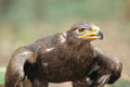 Steppe eagle the taking off Royalty Free Stock Photo