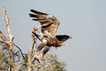 The Steppe Eagle is  Taking off Jorbeer outskirt BIKANER Royalty Free Stock Photo
