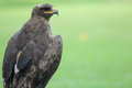 Steppe eagle the upper body of Stock Photo