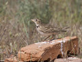 Steppe lark sitting on a brick in the steppe. Royalty Free Stock Photos