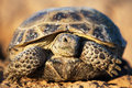 Steppe tortoise Royalty Free Stock Image