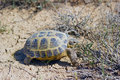 Steppe tortoise this lives in the steppes of kazakhstan Royalty Free Stock Photography