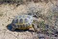 Steppe tortoise