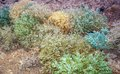 Steppe vegetation ceratocarpus arenarius l rogach sand or ebelek growing in the and desert is animal feed Stock Photography
