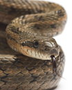 Steppes Ratsnakes (Elaphe dione). Closeup Royalty Free Stock Image