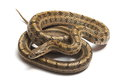 Steppes Ratsnakes (Elaphe dione) over white Stock Photos