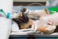 Sterilizing a dog in lying unconscious in veterinarian clinic while surgeon is her Royalty Free Stock Images
