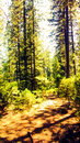 Sterling city ca abthe woods tallest trees Stock Photos