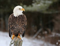 Stern bald eagle a looking haliaeetus leucocephalus perched on a post with snow falling Stock Photo