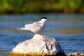 Sterna hirunda (Common tern) Royalty Free Stock Photos