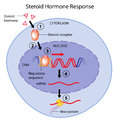 Steroid hormones action Stock Photos