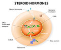Steroid hormones response vector how work steroids bind to an intracellular receptor this complex activates gene transcription Royalty Free Stock Photo