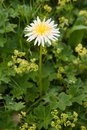 Steven dandelion taraxacum stevenii is on subalpine meadow Stock Photography