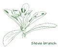 Stevia branch outline VECTOR sketch