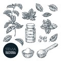 Stevia plant and leaves sketch vector illustration. Natural organic sweetener, sugar healthy alternative