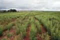 Stevia plantation to industrial use Stock Photo