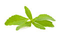 Stevia rebaudiana Royalty Free Stock Photography