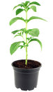 Stevia Rebaudiana Cutout Royalty Free Stock Image