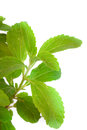 Stevia rebaudiana natural sweetener close up Royalty Free Stock Photos