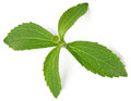 Stevia rebaudiana sweet leaf sugar substitute on white background Royalty Free Stock Images