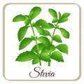 Stevia vector herbal sweet sugar sweetener plant