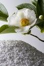 Stewartia pseudo-camellia Royalty Free Stock Photo