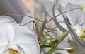 Stick insect on orchids closeup of Stock Image