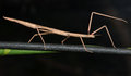 Stick insect walking on the stem Stock Image