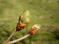 Sticky buds of the flowering chestnut tree known in uk as just breaking into leaf Royalty Free Stock Image