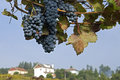 Still life of blue bunches grapes rural landscape the wine industry is an important economic activity is northern portugal the Royalty Free Stock Photo