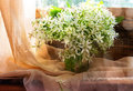 Still life bunch small white florets window Royalty Free Stock Photo
