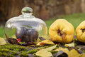 Still life with quince black apple and leaves autumn outdoor Stock Image