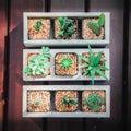 Still life of three cactus plants on vintage wood background tex texture Stock Image
