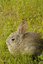 Still rabbit in the grass. Royalty Free Stock Images