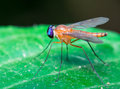 Stilt Legged Fly Royalty Free Stock Photo