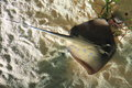 Sting ray Stock Photography