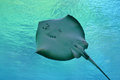 Sting ray at seaworld gold coast qld Stock Images
