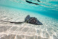 Sting ray swimming in shallow water Royalty Free Stock Photography