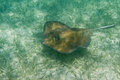 Sting ray underwater close up of a of the coast of belize Stock Photo