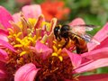 A honey bee collecting nectar of flowers Royalty Free Stock Photo