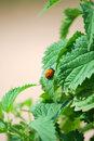 Stinging nettle Royalty Free Stock Images