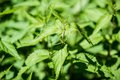 Stinging nettle closeup with shallow depth of field against green background with great shadows Stock Image