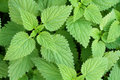 Stinging nettle fresh natural background Stock Images