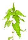 Stinging nettle isolated on white Royalty Free Stock Photos