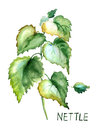 Stinging nettle original watercolor illustration Stock Image