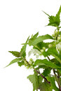 Stinging nettle over white background closeup of blooming Stock Images